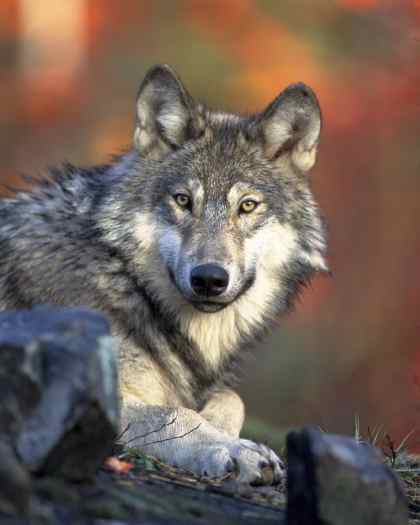 gray-wolf-gazing