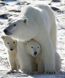 Polar Bear Climate