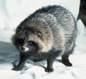 raccoon dog 1a