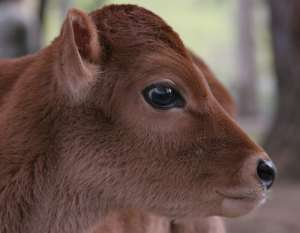 calf_a