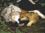 wolf-with-pup