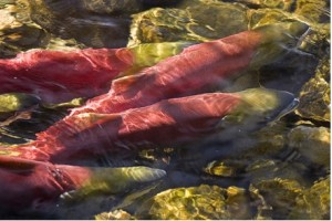 salmon-snake-river-photo