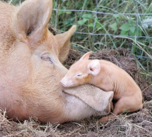 tamworth pig and piglet