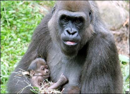 We Are All The Same 41091412_gorilla_ap_4162