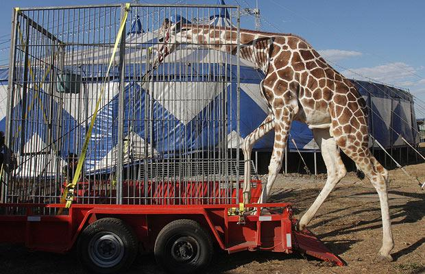 http://animalblawg.files.wordpress.com/2011/11/giraffe-circus_1365018i.jpg