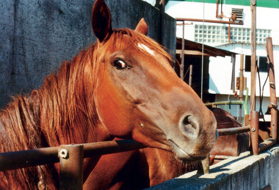 a study of horse slaughter the uses of a dead horse Horse slaughter is the practice of slaughtering horses to produce meat for  consumption  typically, a penetrating captive bolt gun or gunshot is used to  render the animal  (bleeding out) conducted immediately afterwards to ensure  death  survey to determine welfare problems during equine transport to  slaughter found.