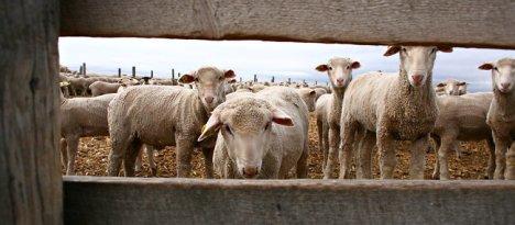 SHEEP-1-popup