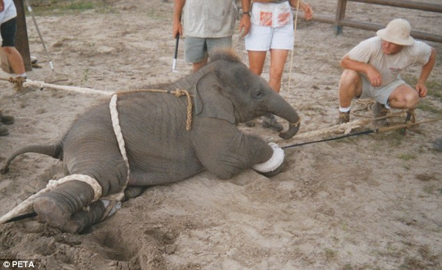 Animal Abuse Elephants Elephant Abuse There 39 s a Story