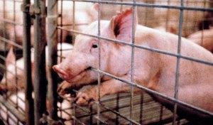 PigletBitingCagelg