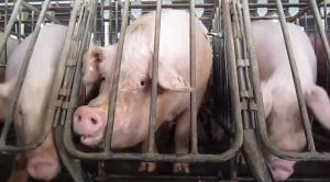 Gestation_crates_5