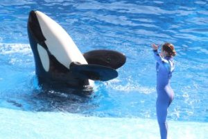 SeaWorld Killer Whale Show One World