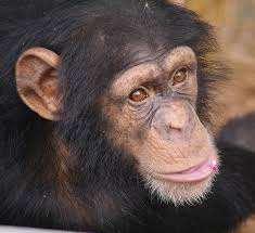 Chimp Haven Photo
