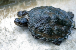 Tar sands oiled turtle, Kalamazoo River; click