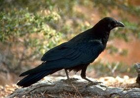 common-raven_USFWS-f