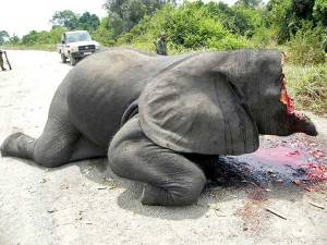 victim-of-elephant-poaching
