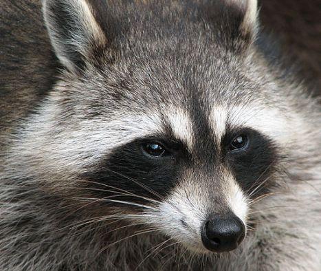 512px-Raccoon_(Procyon_lotor)_2