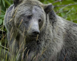 stock-grizzly-USFWS