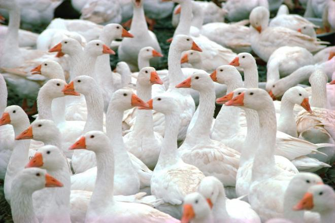 gaggle-of-geese