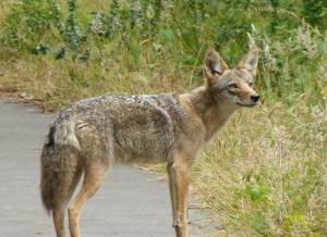 coyote_post2
