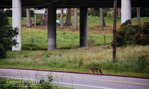 urbancoyoteproject