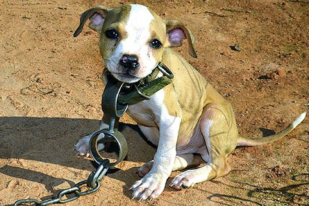pitbull-puppies-rescued-from-dogfighting-ring