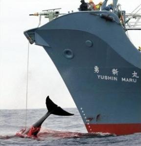 Japanese Whaling1
