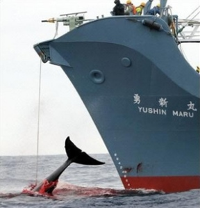 Japanese Whaling1