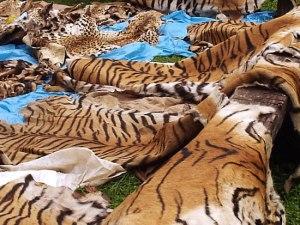 poaching-tiger pelts