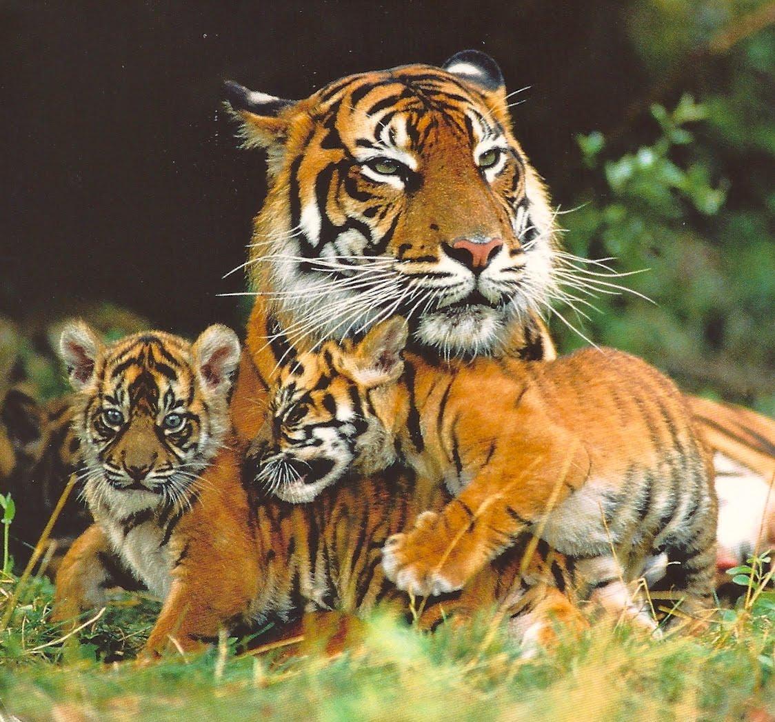 Poaching siberian tiger