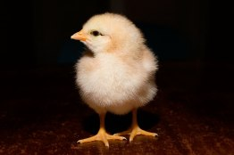 Day_old_chick_black_background