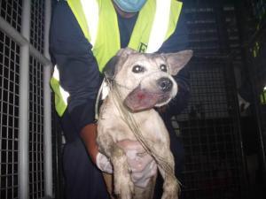 Dog swollen tongue