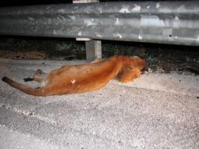Florida Panther HBC