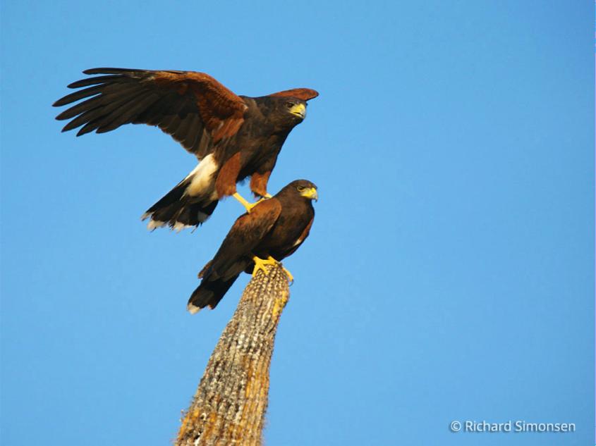 Stacked Harris Hawks