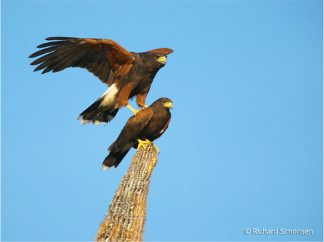 Stacked Harris Hawks