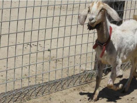 Goat_SantaCruz_Large-tumor-under-jaw_creditMarcyRosendale (2)