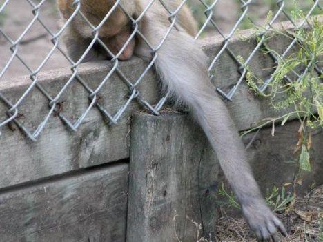 CHZ primate