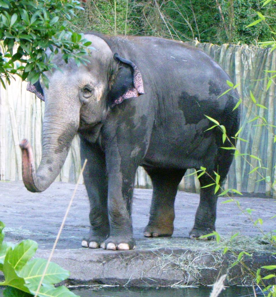 elephants-packy-in-2006-oregon_zoo_-google-cc-wiki.jpg