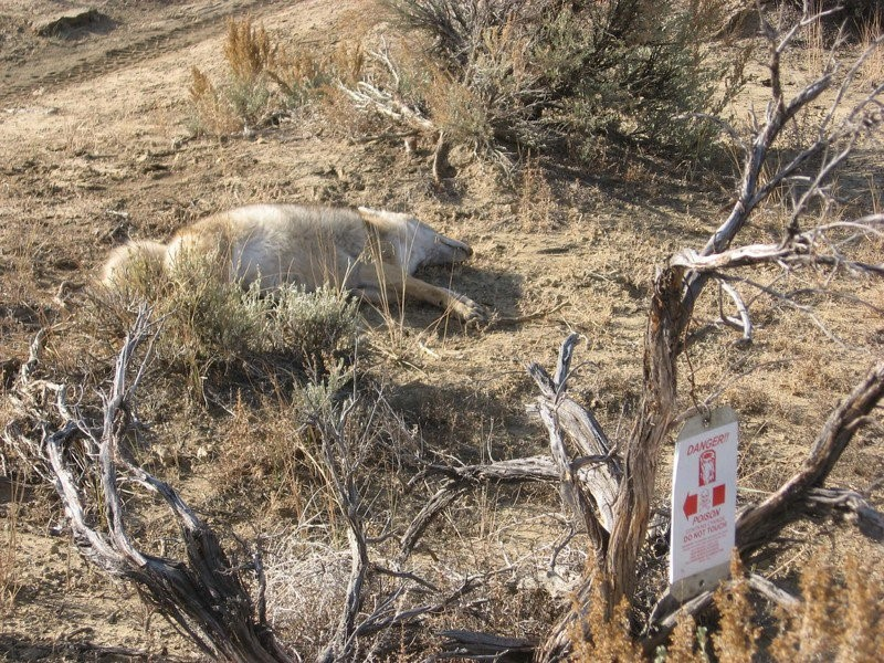 M44 Dead Wolf or Coyote near POISON sign 2016-05813_Partial 11_Item 1(New Mexico) 12-scr.jpg